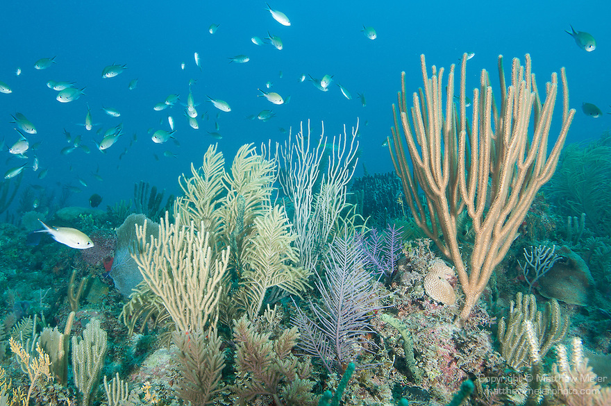 Gardens of the Queen, Cuba; a school of Brown Chromis fish swimming above a coral reef covered in sea rods, sea fans, sponges and encrusting corals