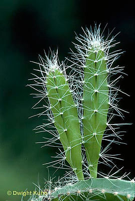 HS02-002a  Dog-tail Cactus - spines for defense, shoots on parent for starting new plants - Aporocactus spp.