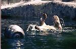 Polar Bear playing in its pool at Bronx Zoo in July 1976. Photograph by Jim Peppler. Copyright Jim Peppler 1976.