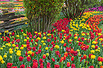 Skagit County, WA: Assorted varieties of flowering tulips and grape hyacinths form colorful patterns in the RoozenGaarde garden.