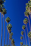 Palm trees lining street under blue sky along Sunset boulevard, downtown Los Angeles, California USA.