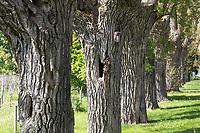 Kanada-Pappel, Kanadapappel, Bastardpappel, Bastard-Pappel, Pappel, Pappeln, Populus x canadensis, Populus × euramericana, Allee, Alleebaum, Alleebäume, Pappel-Allee, Pappelallee, Jägerallee, Stuttgart Hohenheim, Botanischer Garten, Kopfbaum, Kopfbäume, Baumhöhle, Baumhöhlen, Canadian poplar, Carolina poplar, alley, avenue