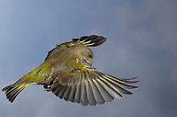 Grünfink, Grünling, Flug, Flugbild, fliegend, Grün-Fink, Chloris chloris, Carduelis chloris, greenfinch, flight, Verdier d'Europe