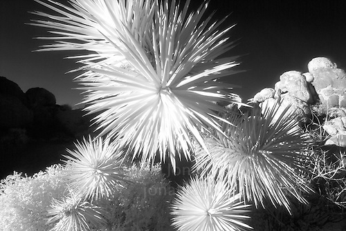 An infrared close-up of a Joshua Tree at Joshua Tree National Park in California. (©2012 Jonathan Nourok)