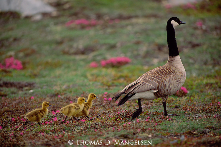 A Canada goose walks through the tundra followed by its three goslings.