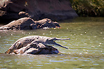 A freshwater crocodile perched on a rock in the Ord River, Kimberley Coast, Australia