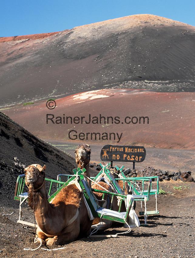 Spanien, Kanarische Inseln, Lanzarote, Timanfaya Nationalpark:  Dromedare, Pause vor dem naechsten Ritt mit Touristen | Spain, Canary Island, Lanzarote, Timanfaya National park: dromedaries resting