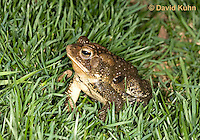 0304-0924  American Toad on Grass in Backyard, © David Kuhn/Dwight Kuhn Photography, Anaxyrus americanus, formerly Bufo americanus