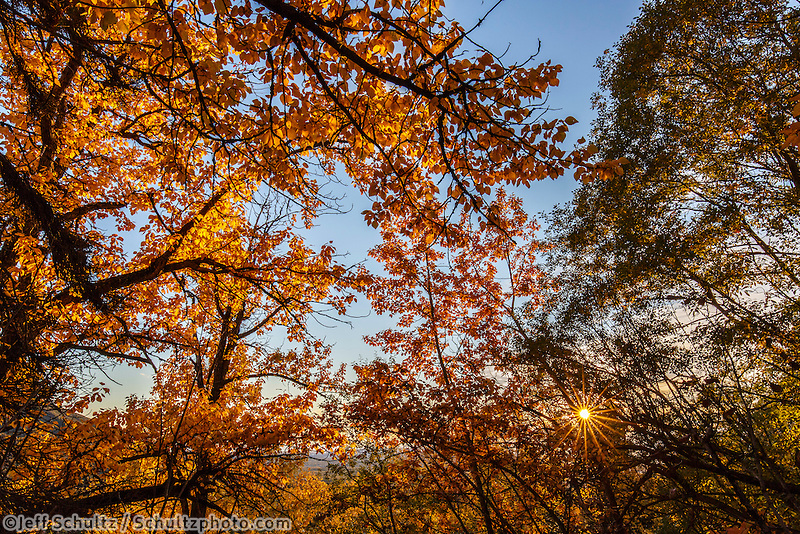 Fall landscape of Cottonwood trees in full Autumn color  in Arctic Valley area of Anchorage, Alaska  September 2015