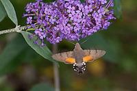 Taubenschwänzchen, im Schwirrflug vor Schmetterlingsflieder, Nektarsuche, Blütenbesuch, Bestäubung, Saugrüssel, Taubenschwanz, Karpfenschwanz, Macroglossum stellatarum, Wanderfalter, Kolibrischwärmer, Kolibri-Schwärmer, Schwärmer, Sphingidae, Hummingbird Hawk-moth, Hummingbird Hawkmoth, Humming-bird Hawk-moth, Hummingmoth, sphinx moth, sphinx moths, hawkmoths, hawk moths