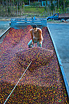 Coffee farmer pushes coffee cherries or berries from the back of a truck into a weighing station at a coffee cooperative.