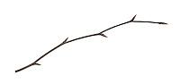Copper Beech twig - Fagus sylvatica'Atropunicea' (Purpurea)