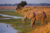 African Elephant bull drinks from the Zimbabwe side of the Zambezi River.