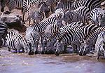Zebra drinking ( equus guagga )