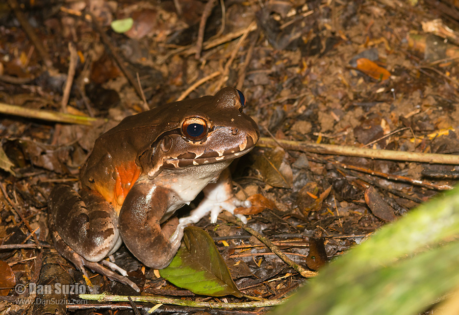 Smoky Jungle Frog, Leptodactylus pentadactylus, at Tirimbina Biological Reserve, Costa Rica