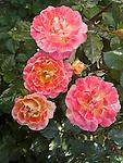 Champagne Cocktail Rose, floribunda Rosa hybrid