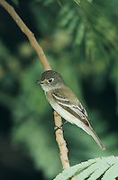 Least Flycatcher, Empidonax minimus, adult, South Padre Island, Texas, USA, May 2005