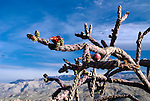 Staghorn cholla, Saguaro National Park