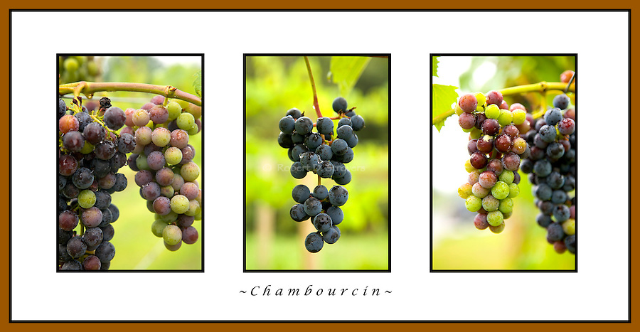 Grapes, Chambourcin, Triptych