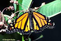 MO01-022z  Monarch Butterfly - adult on milkweed - Danaus plexippus