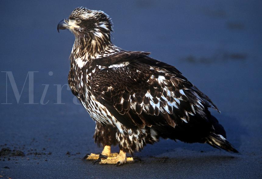 Juvenile bald eagle on beach, Alaska