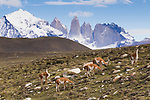 Guanaco (Lama guanicoe) herd in pre-andean shrubland, Torres del Paine, Torres del Paine National Park, Patagonia, Chile