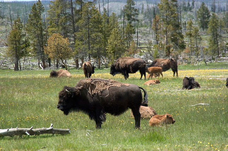WY: Wyoming, Yellowstone National Park.In Midway Geyser Basin,.bison..Photo #: yellow1552.Photo copyright Lee Foster, 510/549-2202, lee@fostertravel.com, www.fostertravel.com..