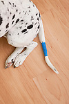 USA, Illinois, Metamora, low section of Dalmatian with tail wrapped in bandage