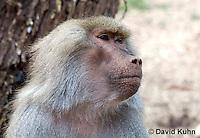 0719-1103  Female Hamadryas Baboon, Papio hamadryas  © David Kuhn/Dwight Kuhn Photography.