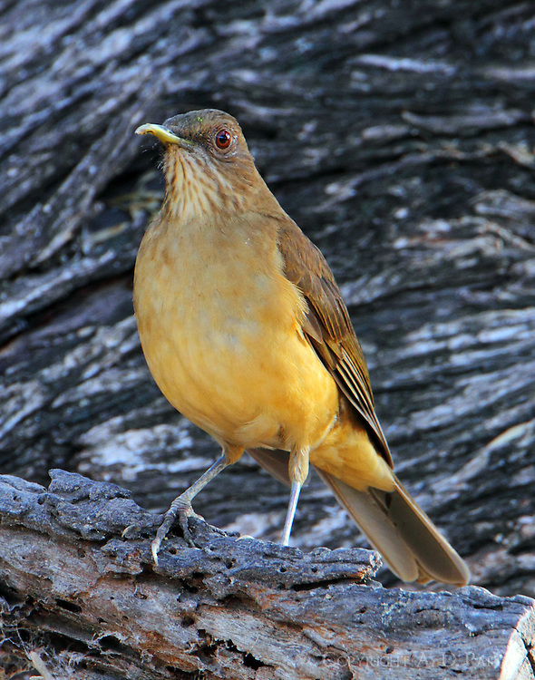 Clay-colored robin. Notice this bird has a deformed upper mandible.
