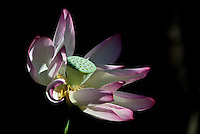 Single white lotus opening with pink edges in dramatic light