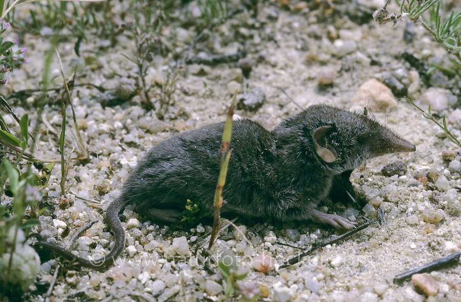 Hausspitzmaus, Haus-Spitzmaus, Spitzmaus, Crocidura russula, Greater White-toothed Shrew