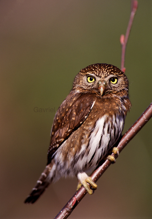 Northern Pygmy Owl ( glaucidium gnoma