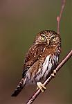 Northern Pygmy Owl ( glaucidium gnoma