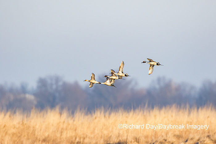 00716-00901 Northern Pintails (Anas acuta) in flight, Marion Co., IL
