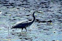 HN01-042z  Great Blue Heron - in pond in Maine - Ardea herodias