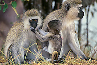 Vervet Monkeya (Chlorocebus pygerythrus), Africa.  Common monkey of the african savanna.