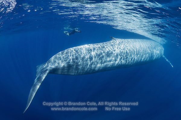 TC0303-D. Blue Whale (Balaenoptera musculus), and underwater photographer. Blue Whale (Balaenoptera musculus), broad tail flukes may be up to 20 feet wide. Thick powerful tail stock and a long, streamlined body mean the blue whale is a fast swimmer capable of 20 mph. Skin color is blue-gray with mottling on the back and sides, with unique blotchy patterning helping scientists to identify individuals. Dorsal fin small and located far back from mid-body. Pacific Ocean.<br /> Photo Copyright &copy; Brandon Cole. All rights reserved worldwide.  www.brandoncole.com