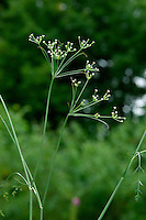 CORN PARSLEY Petroselinum segetum (Apiaceae) Height to 60cm. Slender and rather wiry, hairless and dark grey-green perennial that smells of Parsley. Found in grassy places and hedges, usually near the sea. FLOWERS are white and borne in open umbels, 3-5cm across; these are open and irregular, due to unequal length of rays (Aug-Sep). FRUITS are egg-shaped. LEAVES are pinnate with ovate, toothed leaflets. STATUS-Local and mainly coastal in S England and S Wales only.