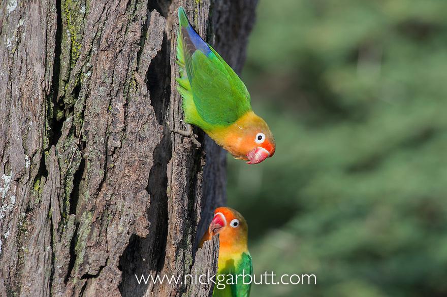 Fischer's Lovebirds (Agapornis fischeri). Ndutu area, Ngorongoro Conservation Area NCA / Serengeti National Park.