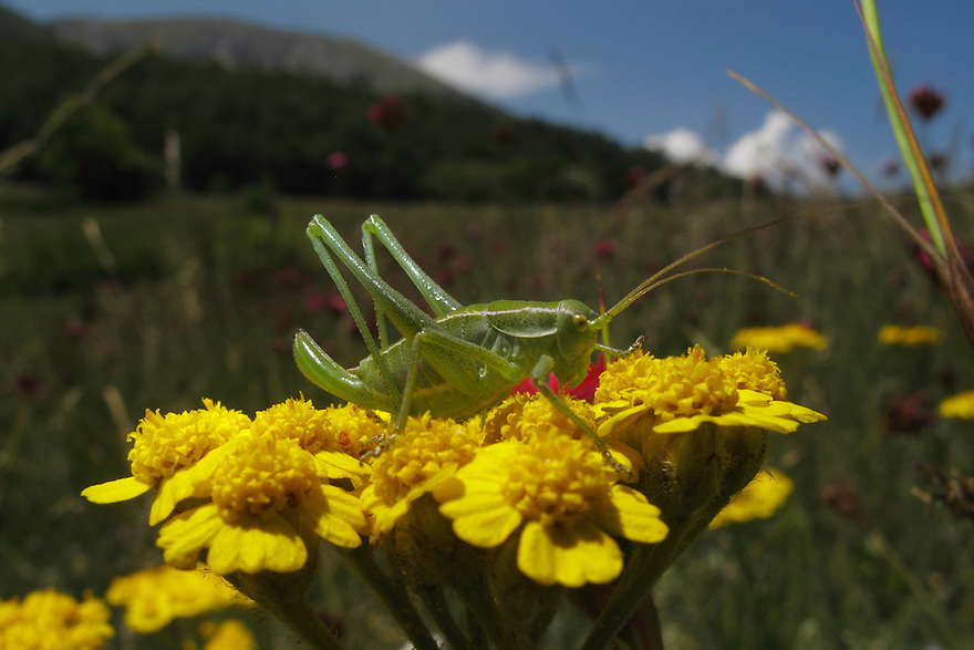 Bush-cricket grasshopper (Tettigoniidae) on Yellow Yarrow, Achillea filipendulina (Gold Plate), Mountain pasture, Mount Baba (1635 m) in Galicica National Park, Macedonia, with Mount Magaro / Marapo (2254m) in background.<br /> Stenje region, Lake Macro Prespa (850m) <br /> Galicica National Park, Macedonia, June 2009<br /> Mission: Macedonia, Lake Macro Prespa /  Lake Ohrid, Transnational Park<br /> David Maitland / Wild Wonders of Europe