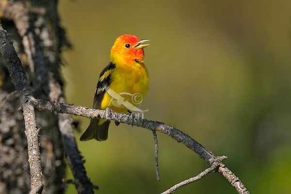 Male Western Tanager (Piranga ludoviciana).  Pine tree.  Western U.S., summer.