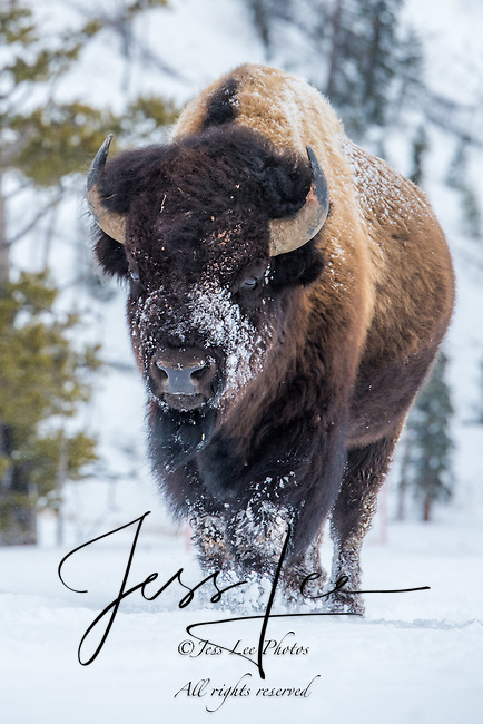 Bison in winter from Yellowstone national park with snow on its face.