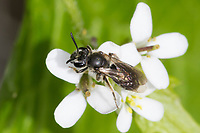 Sandbiene, Andrena spec., Mining-Bee, burrowing bee, Sandbienen, mining bees, burrowing bees, Blütenbesuch an Knoblauchsrauke, Alliaria petiolata