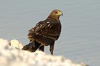 Lesser Spotted Eagle, Imm - Aquila pomarina