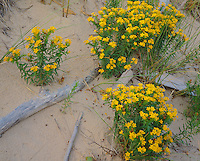 P.J. Hoffmaster State Park, MI: Hoary puccoon (Lithospermum canescens) and beach grasses on  dune