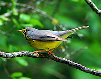 Male Canada warbler