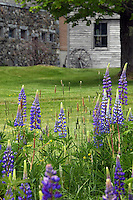 Lupine And Wagon Wheel