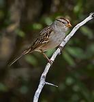 Rufous-crowned sparrow (Aimophilia ruficeps), Rio Grande Nature Center, Albuquerque, New Mexico