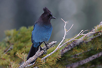 Adult Steller's Jay (Cyanocitta stelleri). Pierce County, Washington. May.